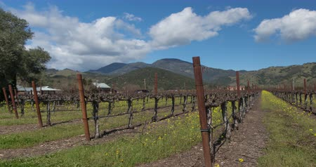 Vineyard Landscape. Napa Valley, California during springtime when the mustard plant blooms.