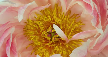 Peony Flower Blooming. A Vibrant Close-up Time lapse of a beautiful Blooming Peony Flower. Stock Footage