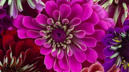 Pink Zinnia Flower Blooming.