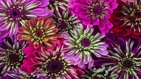 Zinnia Flowers Blooming. A Panning 4K Time Lapse of a large Group of Colorful Zinnias Blooming.
