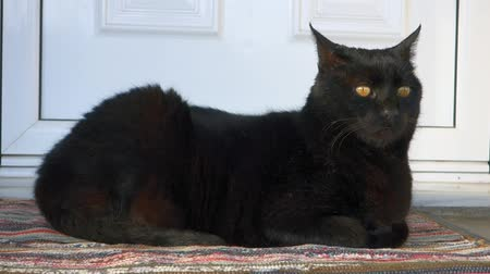 tabby cat : Domestic black cat resting