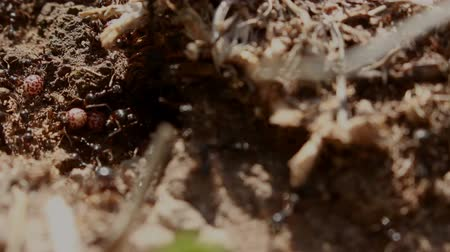 exotic insect : Movement of Ants stocking food near anthill MF