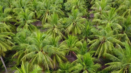 coconut palm tree : 4k aerial view shot agriculture coconut farm