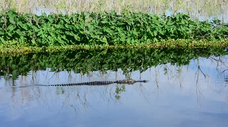 alligator mississippiensis : An American alligator swimming. Camera handheld. Stock Footage