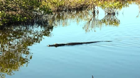 An American Alligator swimming right to left, camera following.