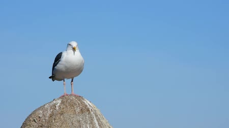 Seagull on a rock. Gull is left third of frame. Camera locked.