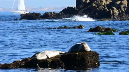 Harbor Seals resting on a rock in Monterey Bay. Sailboat in the background. Camera locked.