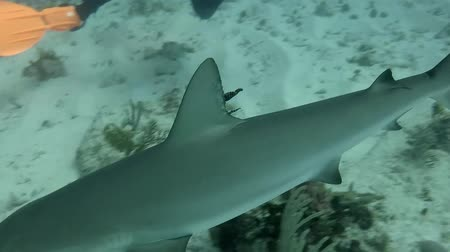 Blacktip  reef shark in the Caribbean. Camera hand held. With sounds of Scuba Diver. Stock Footage