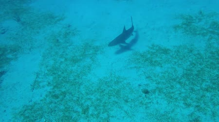 Blacktip reef shark passing in the distance. Camera handheld. Sound of Scuba diver.