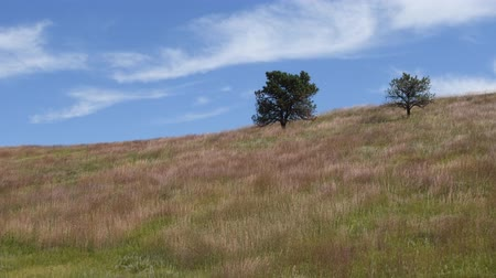 Wild grass in a breeze, on a hillside at Custer State Park, South Dakota. Camera stationary. Stock Footage