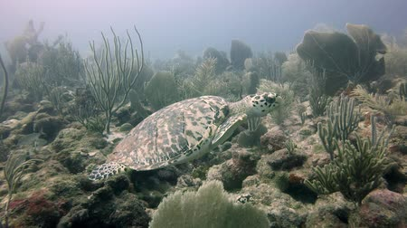 Sea turtle swimming underwater, in Antigua, the Caribbean. Handheld, with sound of diver breathing.