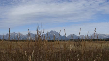 grand tetons : Wild grasses swaying in the breeze with the Grand Tetons in the background, Grand Teton National Park. Camera locked.