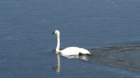 esquerda : A swan swims in the Yellowstone River, Yellowstone National Park. Camera handheld, panning right to left to stay with the bird. Stock Footage