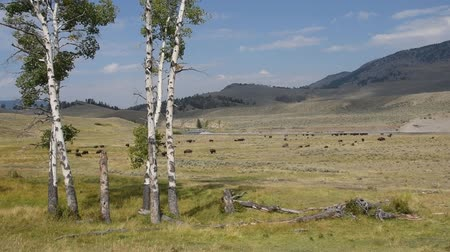 ungulado : Buffalo grazing in the Lamar Valley at Yellowstone National Park. Camera pans slightly left. Vídeos