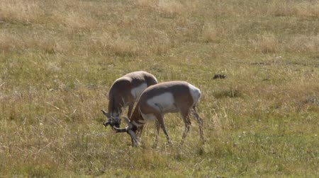 Two Antelope bucks are grazing in a field in Custer State Park, South Dakota. Camera handheld.