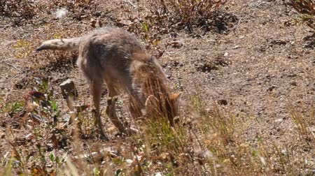 A Coyote locates and catches a meal under ground at Yellowstone national Park, Wyoming. Camera handheld. Stock Footage