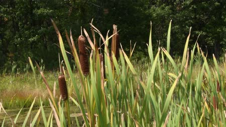 cattails swaying in the breeze in Custer State Park, South Dakota. Camera locked.