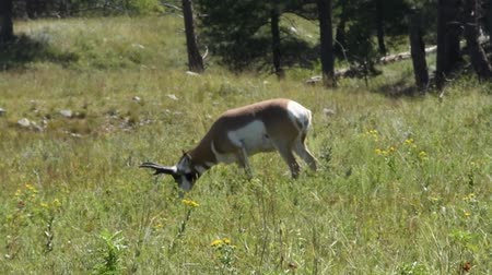 An Antelope grazing in a field at Custer State Park, South Dakota. Camera handheld.