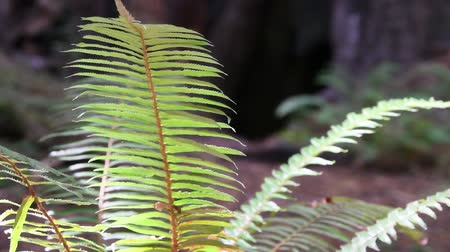 trançado : Fully lighted fern swaying gently in the breeze. Camera locked. Stock Footage