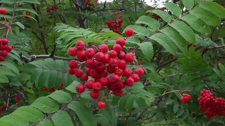 alaszka : Red berries gently swaying in the breeze. camera handheld.