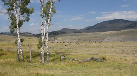 A herd of Bison in the Lamar Valley, Yellowstone National Park.
