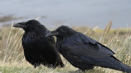 запертый : Two ravens grooming. Yellowstone National Park. Camera locked.