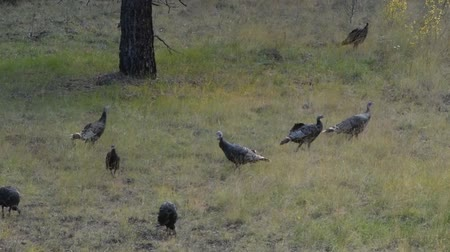 aro : Flock of turkeys grazing in a field.