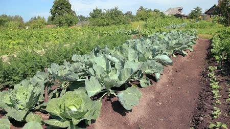cultivar : Cabbage growing in the vegetable garden