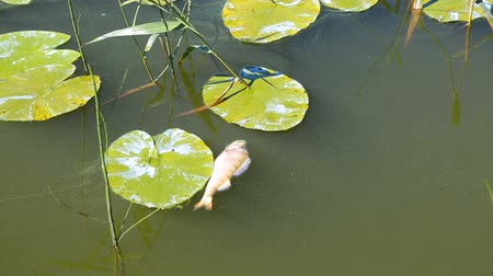 poisoned : Dead fish floating in the river in summer day. Water pollution