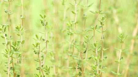 tomilho : Thyme swaying in a gentle breeze
