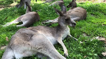 canguru : Gold Coast, Australia. Grey kangaroos resting under trees from summer heat.