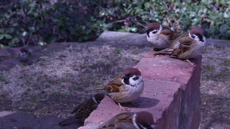 ekosistem : Sparrows gathered in a park in Kobe, Japan.