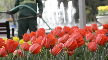 stonky : Municipality employee watering flowers with a flexible hose at park