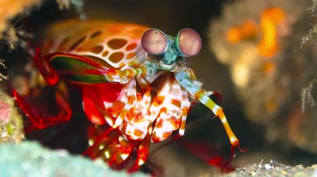 Mantis shrimp at Tulamben, near Liberty Wreck, Bali Island, Indonesia.