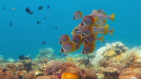 School of Sweetlips, Clown Anemonefish and Butterflyfish swimming over the coral reef at sea at Tulamben, near Liberty Wreck, Bali Island, Indonesia.