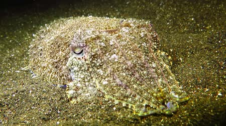 Cuttlefish on the sandy sea bottom at Tulamben, Bali Island, Indonesia. Стоковые видеозаписи
