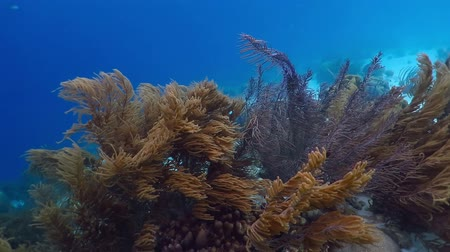 Underwater sea rods and plumes moving on the coral reef