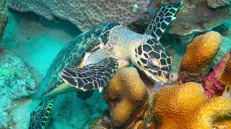 Sea turtle eats coral reef
