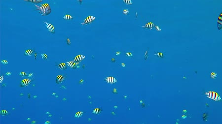 Swimming tropical coral reef fish in the blue ocean. Scuba diving coral reef scenery with school of fish. Sergeant fish school. Cyan sea with feeding fish. Screen saver scene. Стоковые видеозаписи