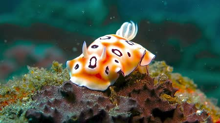 Colorful nudibranch, sea slug sitting on coral reef. Underwater cute creature. Стоковые видеозаписи