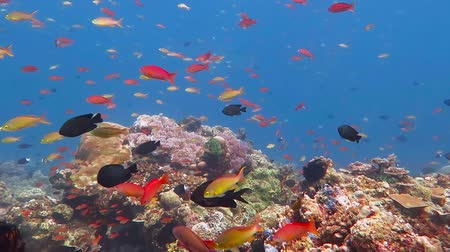Variety of colorful tropical fish swimming in the blue ocean over the rich coral reef. Sea underwater current with school of reef fish. Scuba diving in the current with underwater wildlife and corals. Стоковые видеозаписи