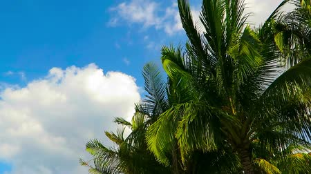 Palm tree leaves blowing in the wind, blue sky and white clouds on the exotic tropical island. Beach with coconut palm trees.