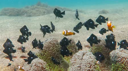 Tropical black fish and nemo clownfish swimming around anemone growing from the sandy bottom. Tropical sea, coral reef and underwater scuba diving. Snorkeling in the shallow salt water with wildlife.