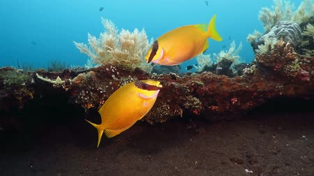 Two yellow tropical fish swimming underwater on the exotic coral reef. Scuba diving and snorkeling adventure trip with underwater wildlife. Underwater vacation.