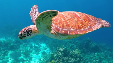 Swimming cute turtle in the blue ocean. Underwater scuba diving with sea turtle. Exotic island vacation with snorkeling. Wildlife on the tropical coral reef. Стоковые видеозаписи