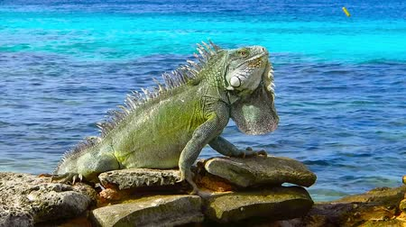 Green cute iguana sitting on the rocky beach near azure sea. Tropical island shore with exotic animal. Calm cyan ocean, sunny day, beach vacation with colorful reptile. Стоковые видеозаписи