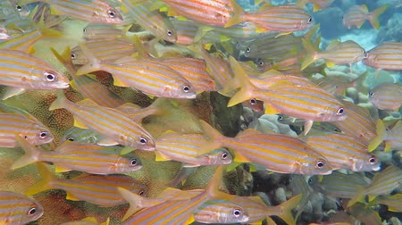 Swimming colorful tropical school of fish. Scuba diving on the underwater coral reef with rich aquatic life. Snorkeling vacation with fish and corals.