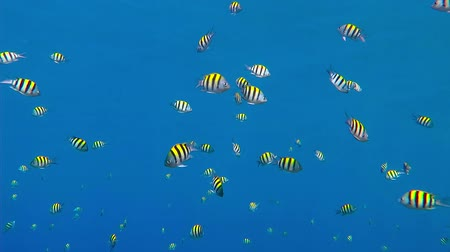 Swimming tropical coral reef fish in the blue ocean. Scuba diving coral reef scenery with school of fish. Sergeant fish school. Cyan sea with feeding fish. Screen saver underwater scene. Стоковые видеозаписи