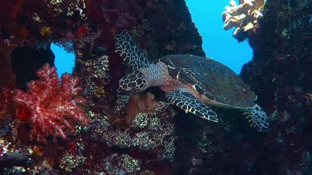 Sea turtle swimming underwater on the coral reef. Hungry turtle feeding on the reef. Scuba diving with turtle on the underwater rich tropical coral reef. Snorkeling with exotic sea wildlife.