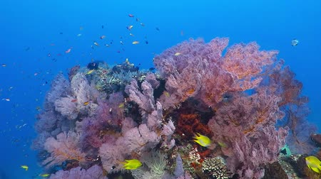 Флорес : Colorful tropical underwater rich coral reef. Variety of fish, colors, sponges and corals.